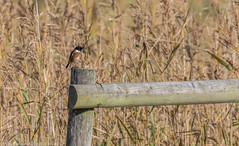 9Q6A5422 (2) (Alinbidford) Tags: alancurtis brandonmarsh nature stonechat wildbirds wildlife