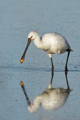 Spatule blanche - Spoonbill (Elisabeth Lys) Tags: spoonbill nikon d7200 maraissalants sigma 150600mm contemporary oiseau bird eau light blanc white yellow spatuleblanche nature