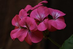 Pinks (Diane Marshman) Tags: geranium flowers pink petals white center annual pot container landscape plant tall spring summer fall blooms blooming flower garden pa pennsylvania nature macro closeup