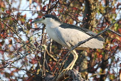 Black-crowned Night-Heron (Terrance Carr) Tags: dncb 201843 reifel terry carr terrycarr 20181023 2018 october