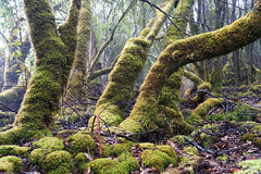 20181015-10-Three Capes Track day 4 - Mossy trees on Mt Fortescue (Roger T Wong) Tags: 2018 australia mtfortescue np nationalpark rogertwong sel24105g sony24105 sonya7iii sonyalpha7iii sonyfe24105mmf4goss sonyilce7m3 tasmannationalpark tasmanpeninsula tasmania threecapestrack bushwalk cloudforest green hike lichen mist moss outdoors tramp trek walk