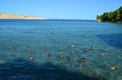 Ducks In The sun [Lopar - 27 August 2018] (Doc. Ing.) Tags: 2018 rab croatia otokrab rabisland happyisland kvarner kvarnergulf summer mediterraneansea adriatic lopar landscape nikond5100