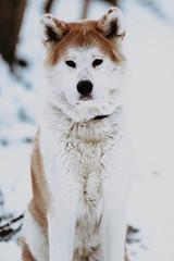 bbb-31 (gabriela.baszak) Tags: akitainu akita dog doggy winter snow canon canon760d canon85mm 85mm