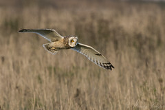 Short Eared Owl-8609 (WendyCoops224) Tags: 100400mml 80d fens canon eos ©wendycooper short eared owl asio flammeus