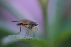 The elegant fly (johco266) Tags: langpootvlieg fly mouche arthropods diptera brachycera fliege insects bugs invertebrates macro macrophotography gardensafari backyard nature natuur nikon coth alittlebeauty coth5
