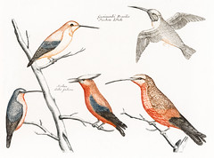 Five hummingbirds (1688-1698) by Johan Teyler (1648-1709). Original from the Rijks Museum. Digitally enhanced by rawpixel. (Free Public Domain Illustrations by rawpixel) Tags: jite nam otherkeywords animal antique art artwork avian beak beautiful beauty bird birds branch color colorful design drawing fancy fauna feather five fly forest hummingbird hummingbirds illustrated illustration johanteyler leaf name native natural nature old ornithology paint painting perched plumage portrait retro tail tree vintage wild wildlife wing wings