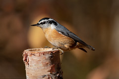 Red-breasted Nuthatch (NicoleW0000) Tags: redbreastednuthatch nuthatch songbird bird nature wildlife autumn fallfolliage colorful colourful ontario
