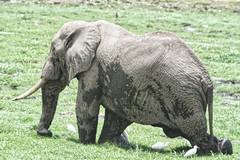 Elephant in the Swamp (Herculeus.) Tags: 5photosaday mammals outdoors outdoor outside kenya amboselinp swamp africanelephants elephants