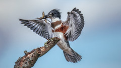 Kingfisher Female (Peter Stahl Photography) Tags: kingfisher beltedkingfisher minnows water hunting summer islelake