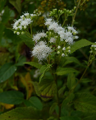 White Snakeroot (Dendroica cerulea) Tags: whitesnakeroot ageratinaaltissima ageratina eupatorieae asteraceae asterales flower white plant summer rutgersecologicalpreserve livingstoncampus rutgersuniversity middlesexcounty nj newjersey