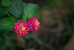 Garden (MegWec) Tags: garden virginia va blandy experimental farm boyce state arboretum flower floral pink yellow orange green