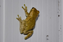 Trachycephalus venulosus, Veined tree frog (Oleg Nomad) Tags: trachycephalusvenulosus veinedtreefrog лягушка кваква боливия frog bolivia america