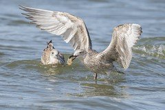 Herring Gull with catch (CapMarcel) Tags: herring gull with catch sea shell ijmuiden beach