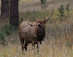 Small 5 X 5 Bull Elk With Very Unusual Antlers (fethers1) Tags: elk bullelk evergreen coloradowildlife