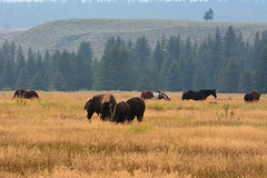Teaton 0271 (mart.panzer) Tags: teaton yellowstone us usa nationalpark nature scenic top highlights attractions must see awesome best bestof landscape elk bison teton grandteton bear