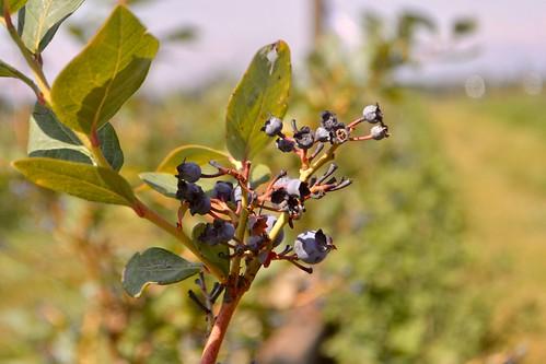 Tierra & Libertad Cooperative Berry Field