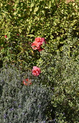 DSC_1913 (PeaTJay) Tags: nikond750 reading lowerearley berkshire macro micro closeups gardens outdoors nature flora fauna plants flowers rose roses rosebuds