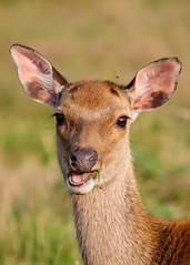 Sika Deer (andynayler) Tags: arne rspb