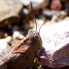 Saltamontes, Oediposa fuscocinta. (EFD-fotolab) Tags: españa bichos macrodeinsectos naturaleza nikkor105mm nikond610 saltamontes macro insectos