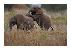 Jeunes éléphants (Claire PARMEGGIANI Photos) Tags: africa africangallery africanlife africanwildlife eastafrica gamedrive kenya safari tsavo wildlife wildafrica elephant