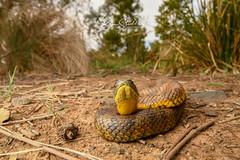 Tiger snake (benstubbs13) Tags: snake tiger notechis stripes eastern reptile wildlife wild natgeo ausgeo australia victoria elapid venomous nikon tamron