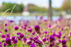 Purple (tokyobogue) Tags: tokyo japan ukimafunado ukimakoen nikon nikond7100 d7100 sigma sigma1750mmexdcoshsm purple flowers park koen autumn bokeh lake water