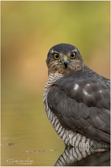 Portrait of a Sparrow Hawk (Gertj123) Tags: birds bokeh bird nature hide holterberg arjantroost animal avian netherlands sigma120300mmf28 autumn canon birdofprey birdwatching