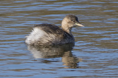 Little Grebe (Ade Ludlam) Tags: little grebe bird wildlife nature www start marshes somerset nikon d7200 sigma sigma150600