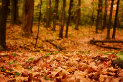 Into the Autumn Woods (flashfix) Tags: october232018 2018inphotos flashfix flashfixphotography ontario canada nikond7100 40mm nature mothernature trees autumn leaves colours orange bokeh fall yellow green sunlight cfbrockcliffe woods