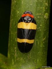 Froghopper, Cercopidae (Ecuador Megadiverso) Tags: andreaskay cercopidae cercopoidea ecuador froghopper hemiptera mindo rainforest spittlebug tropic truebug