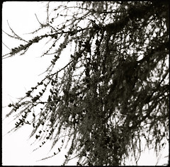 Arriach (Harald Reichmann) Tags: arriach wöllanernock nockberge baum ast lärche natur herbst film analog mamiyac330