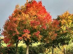 Beautiful autumn right on our doorstep (MargrietPurmerend) Tags: sycamore esdoorn maple ireland ierland herfstkleuren autumn herfst dublin fall