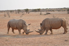 White rhino (j1mdevl1n) Tags: namibia lapalangegamelodge mariental whiterhinoceros