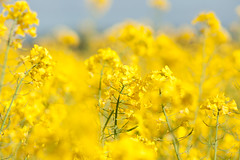 _DSC0986 (gael.lebrun56) Tags: fleur colza rape beez flower macro insect