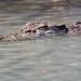 Saltwater Crocodile, Headshot