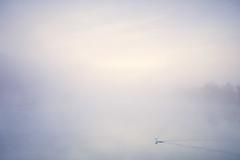 Into nothingness.. (generalstussner) Tags: schwan nebel fog frühnebel wasser natur nature naturschutzgebiet ruhr ruhrgebiet fluss sunrise sonnenaufgang pastellfarben soft canon swan minimal minimalism minimalismus serenity tranquility
