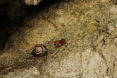 snail on the rock !!! (yasin.orhan) Tags: snail shell rock leaf