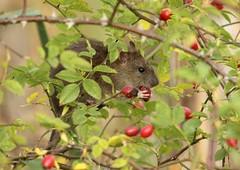 Brown Rat. (farrertracy) Tags: winter berries red redberries green brown tree woodland wildlife rosehip rose