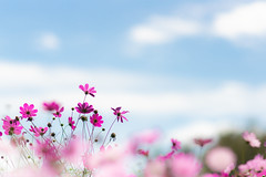 looking up to the sky (hitohira_) Tags: flower flowers nature bokeh cosmos