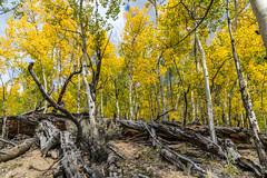 Fallen giant (palbion) Tags: blossomsfoliage twinlakes colorado unitedstates us
