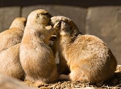 I'll tell you a secret (CGDana) Tags: washington dc zoo nattional smithsonian animal mammal canon 7d