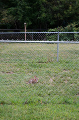 (J.G. Park) Tags: 2018 columbia missouri rabbit cottontail fence 50mm prime primelens