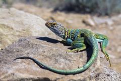 Collared Lizard in New Mexico (hsadura) Tags: lizard reptile claw green blue desert southwest usa newmexico nature collaredlizard mountain boomer freedom animal tail small curiosity chacoculturenationalmonument chaco nationalpark wildlife fast