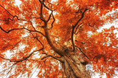 Fire beech (Gruenewiese86) Tags: 6d canon harz tree treetop buche buchenwald 1740 canon6d natur autumn herbst herbstlich landschaft landscape