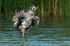 I'm just a little shaky... (Earl Reinink) Tags: shaky shaking bird heron water feathers greatblueheron outdoors nature wildlife autumn earl reinink earlreinink uradzuedza
