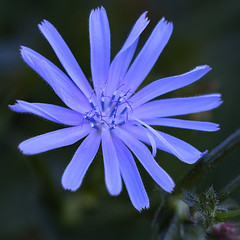 A Star Of Blue (AnyMotion) Tags: commonchicory gewöhnlichewegwarte gemeinewegwarte cichoriumintybus zichorie blossom blüte flowers blumen 2018 anymotion nature natur germany erbeskopf hunsrück rhinelandpalatinate rheinlandpfalz deutschland travel reisen 6d canoneos6d colours colors farben blue blau autumn fall herbst automne otoño macro makro makroaufnahmen square 1600x1600 ngc npc