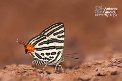 The Club Silverline - ผีเสื้อลายขีดเงินกระบอง (Antonio Giudici Butterfly Trips) Tags: srilannanationalpark chiangmai
