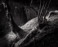 (alananderson43) Tags: monochrome mono blackandwhite light forest tree trees woods woodland sony sony18105 sonya6000 18105 18105mm scottishlandscape scotland