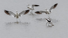 4 poses for the price of 1 (Kevin Fox D500) Tags: americanavocet avocet water waterfowl bombayhookwildliferefuge bombayhook delaware sigma150600sport sigma shorebirds shorebird bird birding birdwatching birds nature nikond500 nikon