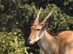 6951ex Kudu (jjjj56cp) Tags: kudu antelope browser inthewild grazer closeup aberdare aberdarenationalpark africa safari africansafari horns twistedhorns p900 jennypansing kenya portrait eland